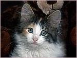 Calico Kitten.jpg
