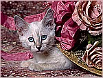 Cat in the Hat, Siamese Kitten.jpg