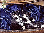 Dreaming in the Drawer, Domestic Medium Hair Kittens.jpg